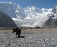 during-batura-trek-a-yak-standing-front-of-batura-peak