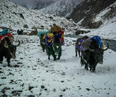 Yaks marching towards Shimnshal Pass during Sonia Peak Expedition