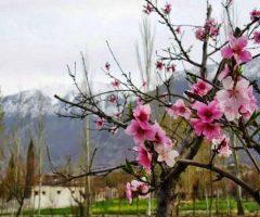 12-blossom-in-hunza